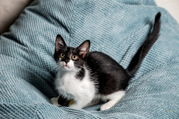 a-cute-black-and-white-kitten-with-yellow-eyes-on-the-sofa_125999-676